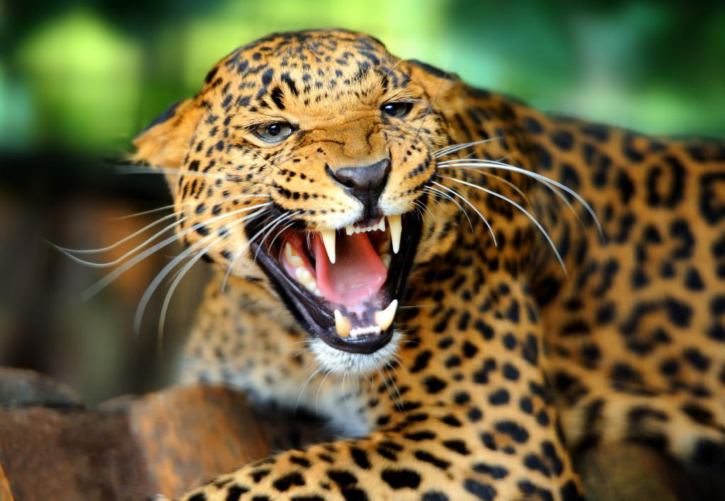 startled cheetah